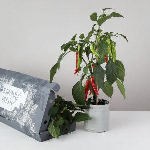 Letterbox Chilli Plant - flowers