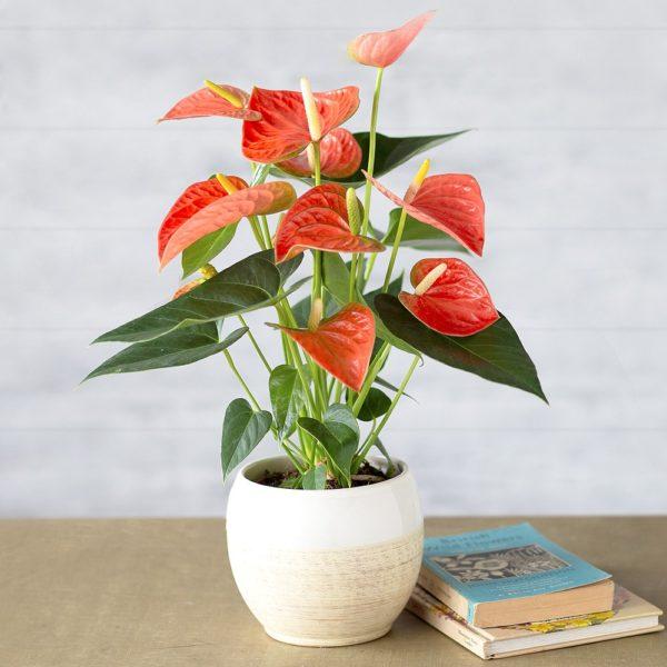 Coral Anthurium